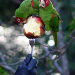Какие фрукты можно попугаям