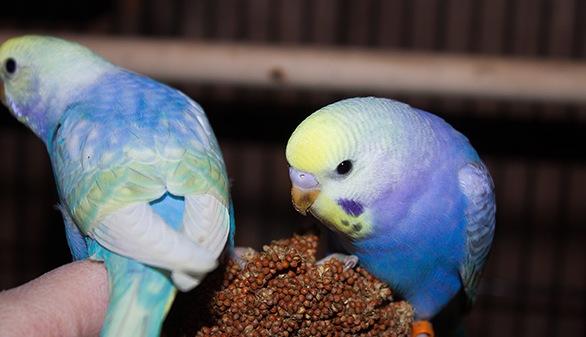 радужные попугаи