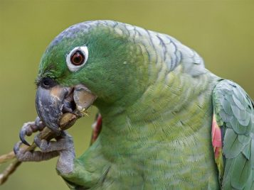 Green_Parrot_Eating1024x768
