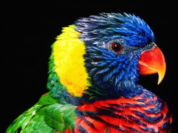 Rainbow_Colorful_Parrot1280x960