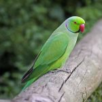 Видео про ожереловых попугаев
