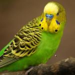 Видео о волнистых попугаях