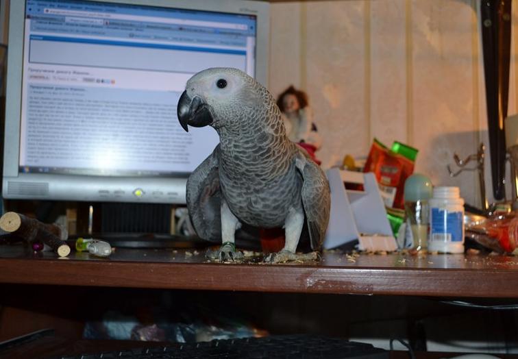Обучающая программа для попугая