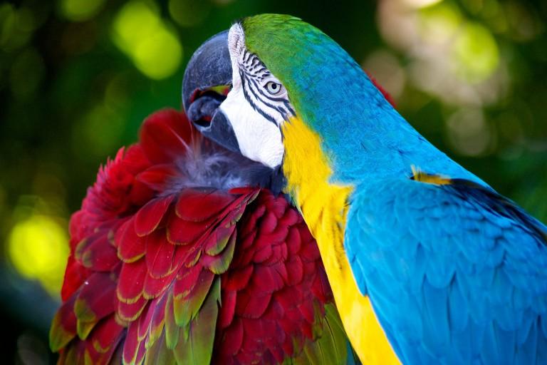 Половой член у папугая