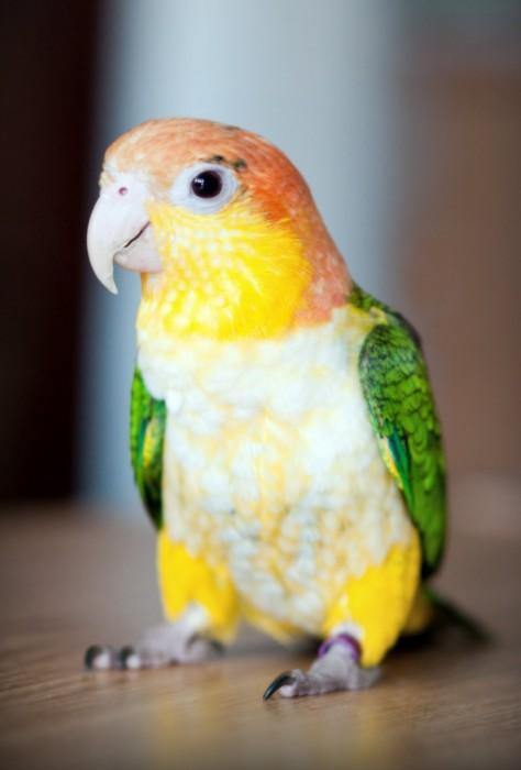 Имена для попугаев девочек популярные
