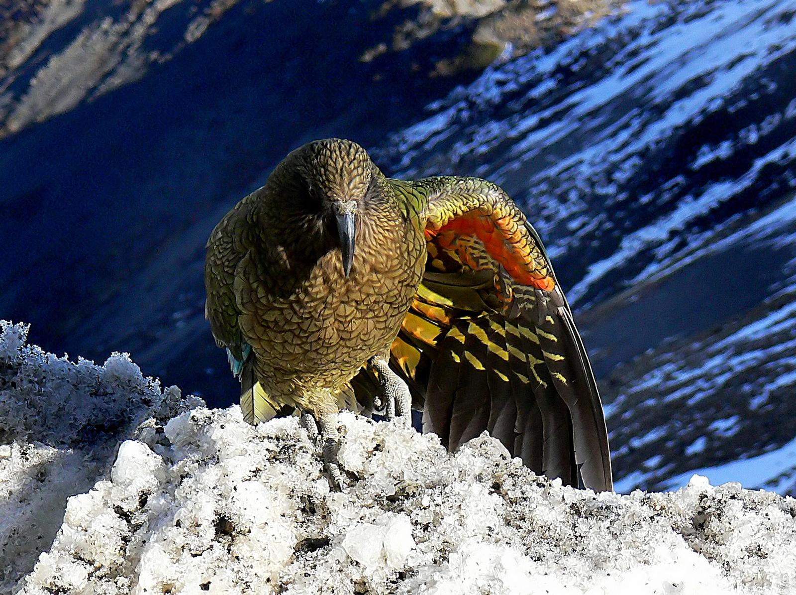 Фото: Bernard Spragg. NZ