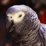 Попугай чихает — что делать?