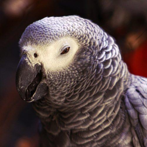 Что делать чтобы волнистые попугаи не размножались 132