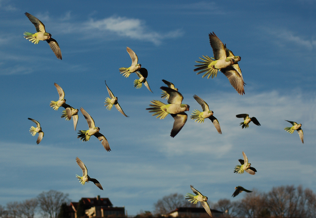 photo essay wild parrots of brooklyn