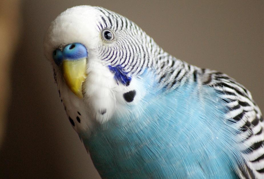 Картинки волнистых попугайчиков голубых