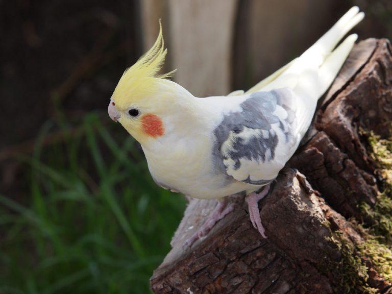 фото попугаев корелла