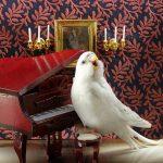Пение волнистых попугаев