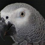Интеллектуальный потенциал попугаев и ворон выше, чем у обезьян