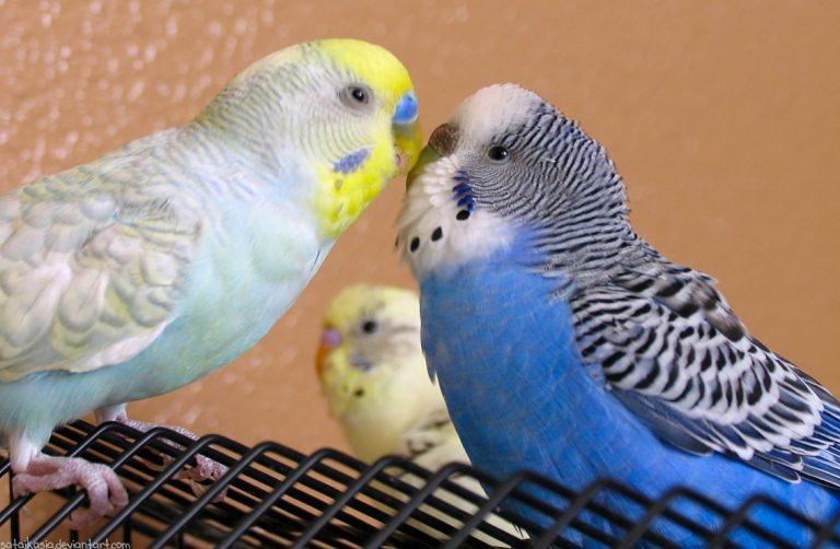 Сексуальное поведение у попугаев