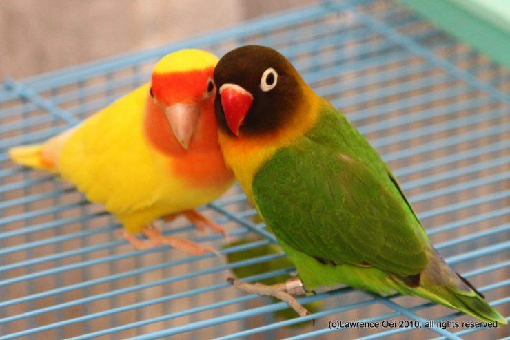 Виды попугаев неразлучников c фото: все разновидности