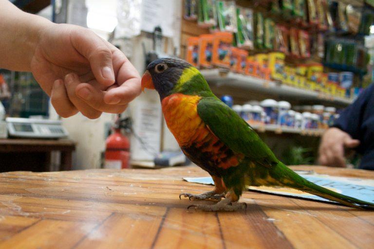 Почему волнистый попугай кусается