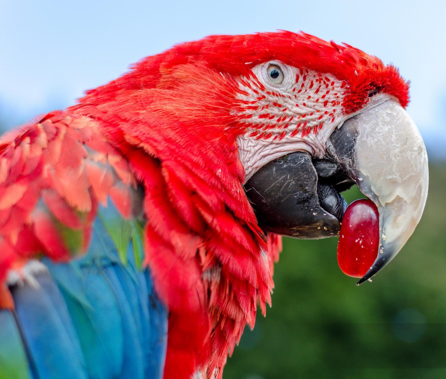 Скачать звук чириканье попугая