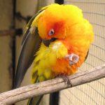 Попугай постоянно чешется — что делать?