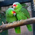 Виды попугаев амазонов
