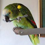 Плюсы и минусы содержания попугаев