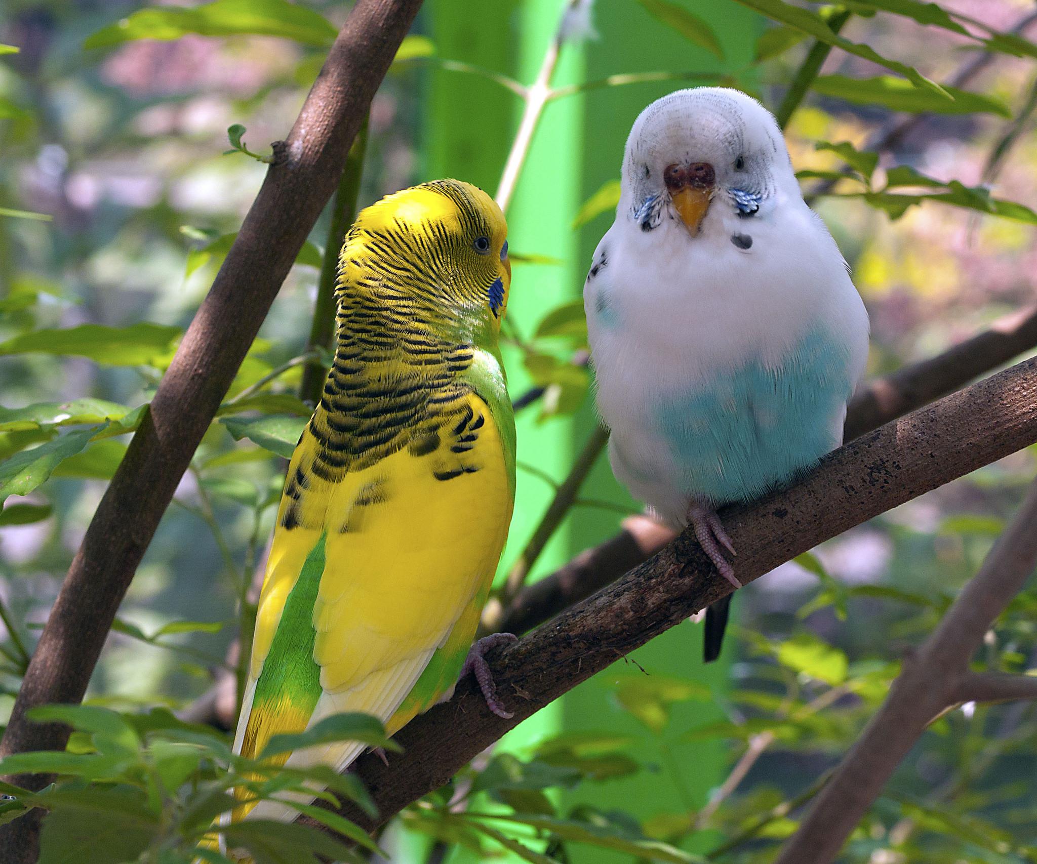 Волнистые попугаи фотографии