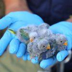 В Австралии борются за спасение исчезающего вида попугаев