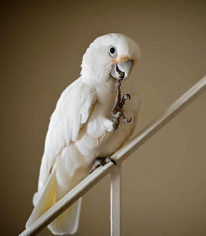 Что делать чтобы волнистые попугаи не размножались 83