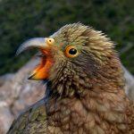 У новозеландских попугаев кеа есть чувство юмора!