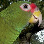 В Мексике открыли новый вид попугаев