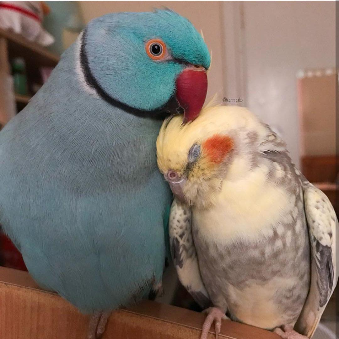 Корелла или ожереловый попугай?