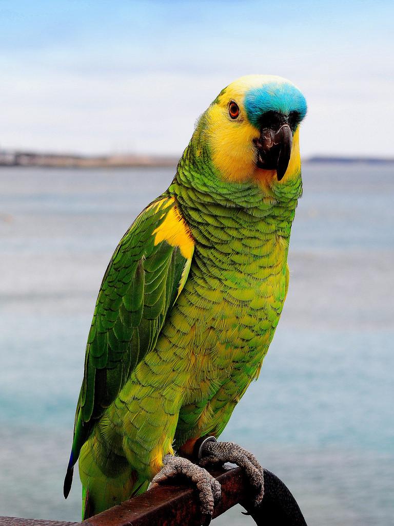 Картинки попугаев больших