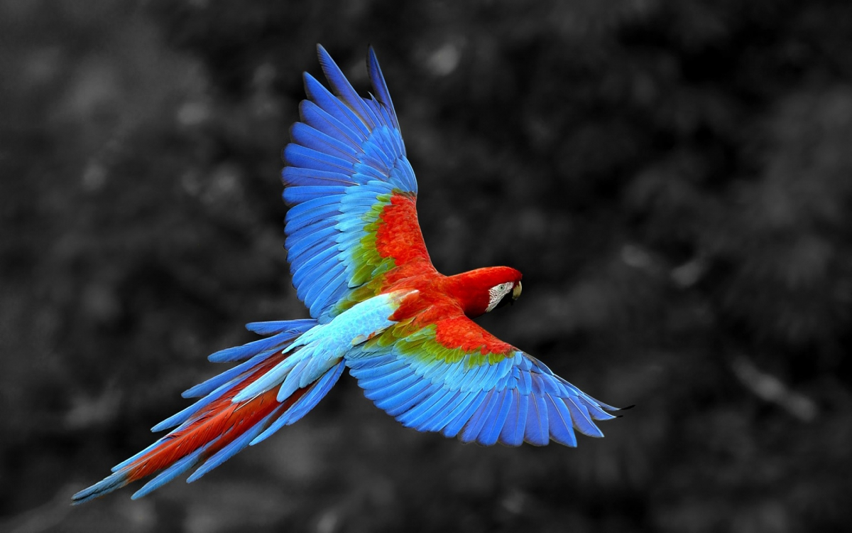 попугай ара картинки