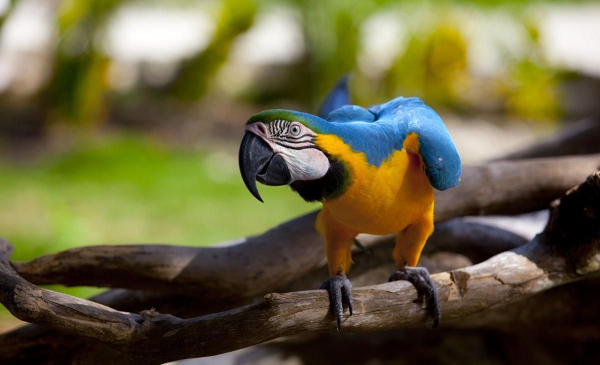 Фото волнистых попугаев  popugajchikru