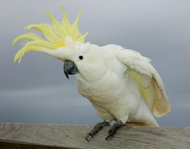 какаду попугаи фото