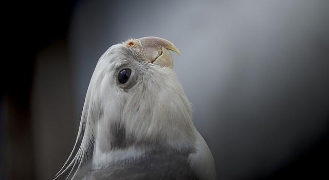 болезни волнистых попугаев фото и описание