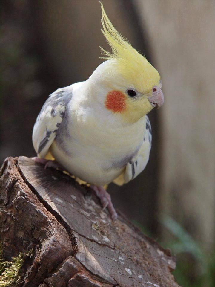 Кореллы попугаи картинки