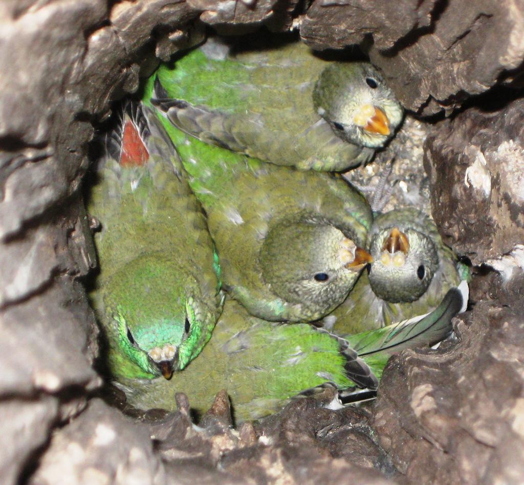 гнездо попугая картинки довольно