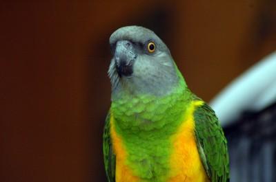 senegal-parrots