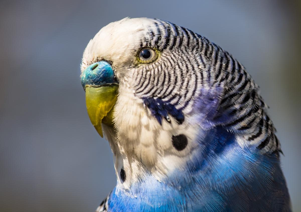 Картинки с попугайчиками волнистыми голубыми