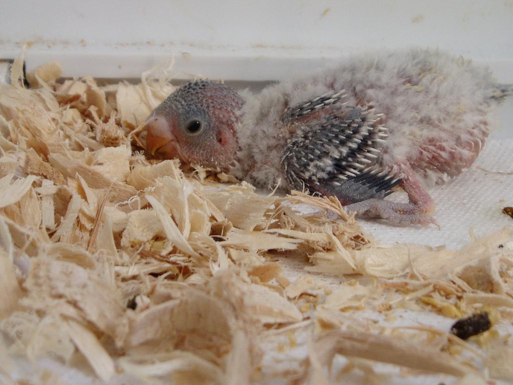 новорождённые попугаи фото