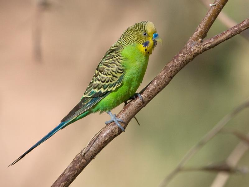 Волнистые попугаи зеленого цвета фото